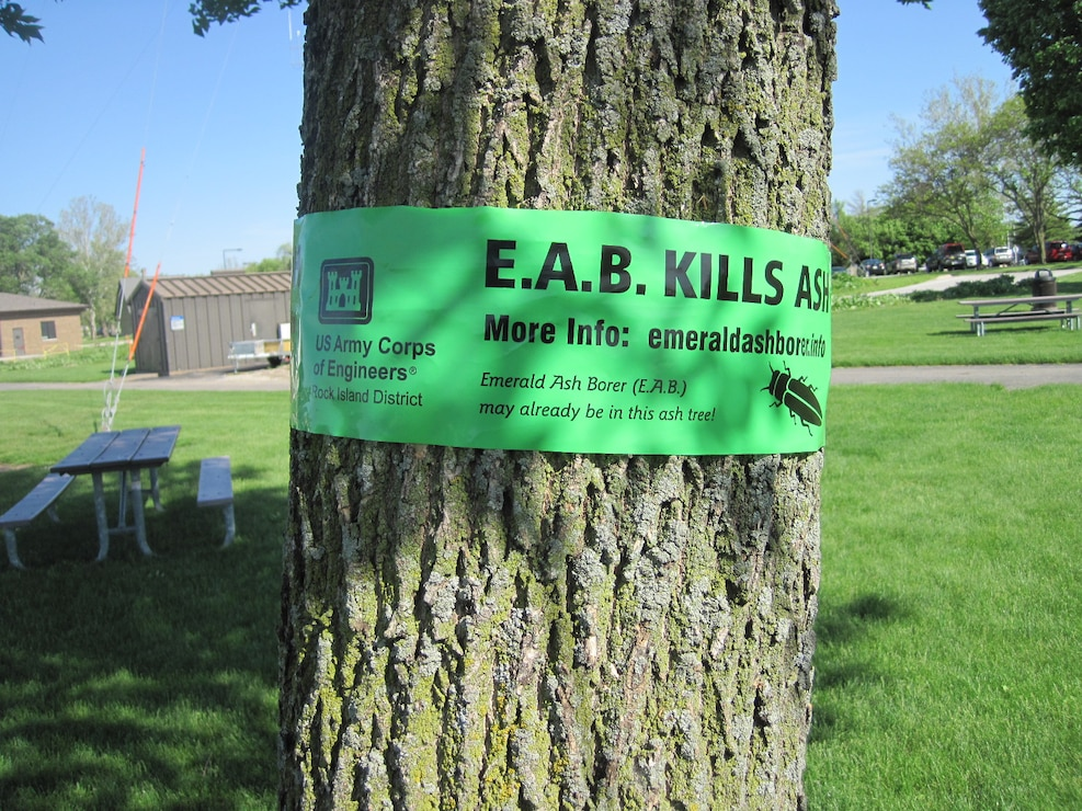 An ash tree located at the Mississippi River Visitor Center in Rock Island, Illinois, wrapped with green EAB tape to inform visitors of the effects of EAB infestation.