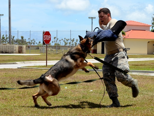 Staff Sgt. Miguel Novoa, 36th Security Forces working dog handler, mock-struggles against his military working dog, May 12, 2015, at Andersen Air Force Base, Guam. Security forces Airmen held the public MWD job-skills presentation in recognition of National Police Week. (U.S. Air Force photo by Airman 1st Class Alexa Ann Henderson/Released)