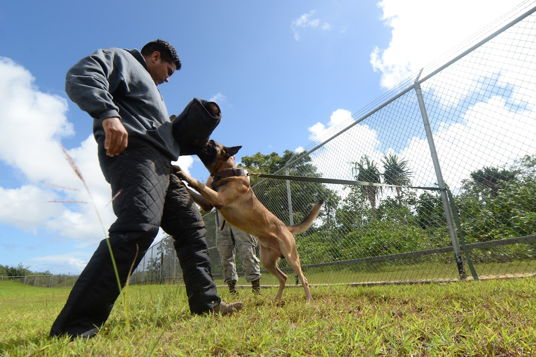 Staff Sgt. Adrian Chavez, a 36th Security Forces Squadron dog trainer, and military working dog Ramos conduct patrol training together Oct. 28, 2015, at Andersen Air Force Base, Guam. Patrol training is an essential part of training for patrol dogs to be able to protect personnel and assets. (U.S. Air Force photo/Airman 1st Class Alexa Ann Henderson)