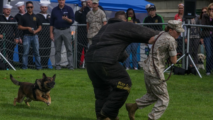 Denny, a military working dog, prepares to take down a Marine acting as a target during the Bark at the Park event Oct. 10, as part of San Francisco Fleet Week 2015. SFFW 15' is a week-long event that blends a unique training and education program, bringing together key civilian emergency responders and Naval crisis-response forces to exchange best practices on humanitarian assistance disaster relief with particular emphasis on defense support to civil authorities.