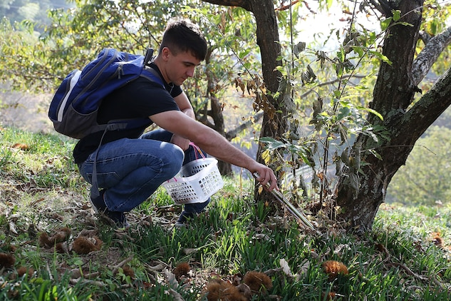 "Cpl. Anthony Moniz, a clerk with Installations Personnel Administration Center at Marine Corps Air Station Iwakuni, Japan, picks ""Ganne-guri"" an indigineous Japanese chestnut, during a chestnut picking trip in Ganne Miwa-cho, Iwakuni City, Oct. 22, 2015. Ganne-guri is covered in a spiked husk and has an agricultural history to Iwakuni city that dates back over 800 years. As the largest member of the chestnut family, Ganne-guri grows seasonally from early October to late November."
