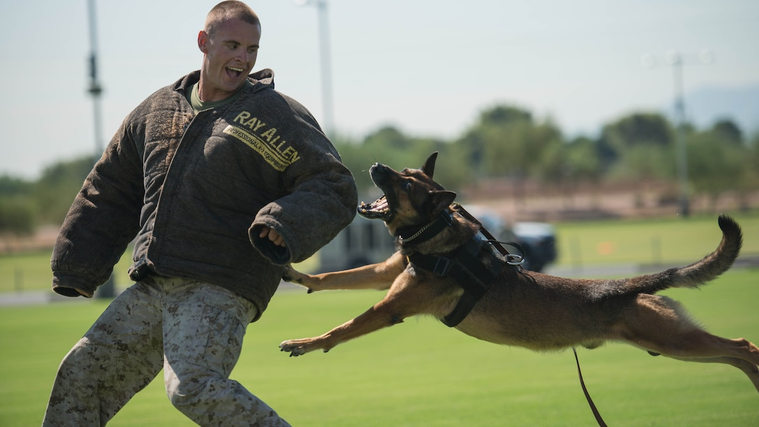 Sgt. Derek Patrick, a military working dog trainer from Marine Corps Base Camp Pendleton, demonstrates the capabilities of his military working dog at the fields behind the University of Phoenix Stadium at Glendale, Arizona, Sept. 11, 2015. The demonstration was part of Marine Week Phoenix, which allows the Marine Corps to showcase it's traditions, history, and values.