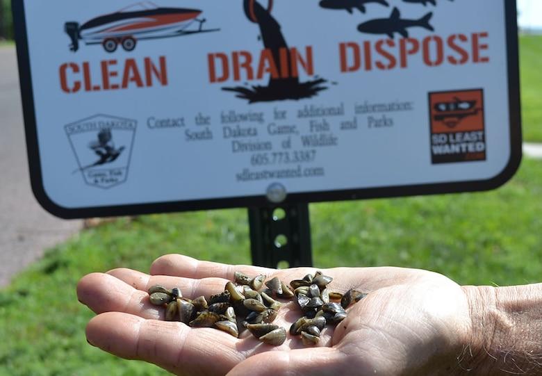 A handful of Zebra Mussels.