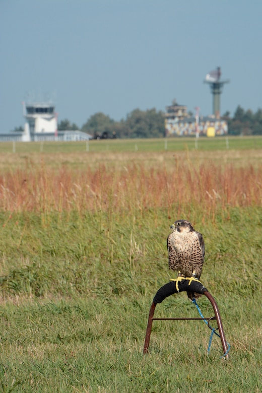 A falcon rests on a perch while scanning the airfield as part of the Bird/Wildlife Aircraft Strike Hazard prevention program at Lask Air Base, Poland, Sept. 14, 2015. The BASH program's goal is the preservation of war fighting capabilities through the reduction of wildlife hazards to aircraft operations. (U.S. Air Force photo by Master Sgt. Paul Gorman/Released)