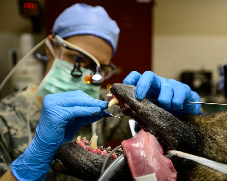 U.S. Air Force Capt. Marie Cross, 386th Expeditionary Medical Group general dentist, checks the teeth around the gum line of VVladimir, a 332nd Expeditionary Security Forces Squadron Military Working Dog, during a dental cleaning at an undisclosed location in Southwest Asia, Sept. 24, 2015. Even in a deployed environment, it is important for MWDs to receive routine dental care to prevent health issues. (U.S. Air Force photo by Senior Airman Racheal E. Watson/Released)
