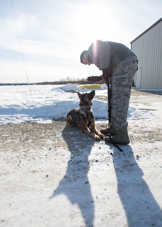 "U.S. Staff Sgt. Barret Chappelle, a 354th Security Forces military working dog (MWD) handler, works with MWD Cage prior to a building sweep March 7, 2016, at Eielson Air Force Base, Alaska. Military working dogs from Eielson work alongside the human defenders who stand ""Ready to go at 50 below"" 24 hours a day protecting assets at the top of the world in the U.S. Air Force's Pacific theater of operations. (U.S. Air Force photo by Staff Sgt. Shawn Nickel/Released)"