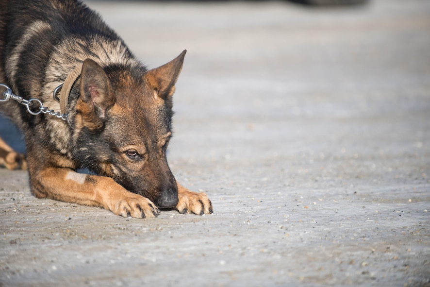 Cage, a 354th Security Forces Squadron military working dog (MWD), sniffs along an ice-packed parking lot while conducting a security sweep March 7, 2016, at Eielson Air Force Base, Alaska. With below zero temperatures possible for more than half the year, MWD handlers break-up training and sweeps between indoor and outdoor locations to protect the K-9's paws from frostbite. (U.S. Air Force photo by Staff Sgt. Shawn Nickel/Released)