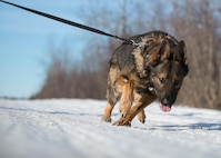 Cage, a military working dog with the 354th Security Forces Squadron, rushes down a trail March 7, 2016, at Eielson Air Force Base, Alaska, while working with his handler Staff Sgt. Barret Chappelle. K-9 teams patrol the massive base four hours a day protecting assets at the top of the world in the U.S. Air Force's Pacific theater of operations. (U.S. Air Force photo by Staff Sgt. Shawn Nickel/Released)