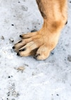 Cage, a 354th Security Forces Squadron military working dog, digs his claws into the ice pack in a parking lot March 7, 2016, while conducting a parking lot sweep at Eielson Air Force Base, Alaska. Cage is paired with Staff Sgt. Barret Chappelle to protect the base and train to deploy to any environment around the world in support of Department of Defense missions and interests. (U.S. Air Force photo by Staff Sgt. Shawn Nickel/Released)