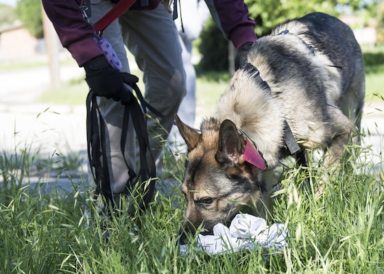 Watson, trailing dog for Alpha Search and Rescue, sniffs a piece of clothing during a mock search and rescue training exercise at Joint Base San Antonio-Lackland Medina Annex April 2, 2016. The exercise provided an opportunity for 66th Training Squadron students to evade trailing dogs in a real-world situation.