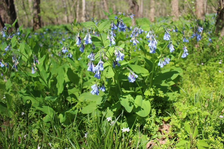 Virginia Bluebells form a blue carpet over the wetlands surrounding Cedar Run at Merrimac Farm Wildlife Management Area in Nokesville, Virginia. Merrimac Farm hosted the annual Bluebell Festival Apr. 17.