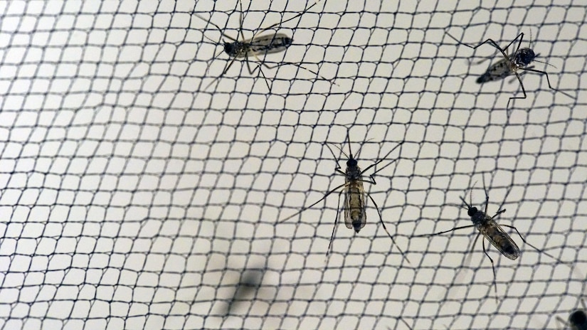 Yellow fever mosquitoes -- Aedes aegypti -- are reared in the Walter Reed Army Institute of Research insectary by the thousands for use in pre-clinical Zika vaccine experiments and for research into new vector control products and methods. Walter Reed Army Institute of Research photo