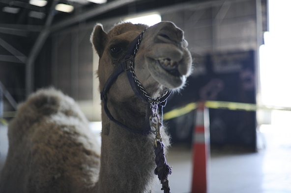 Hump-free, a certified therapy camel, chews his cud Aug. 17, 2016, at Beale Air Force Base, California. Hump-free visited the base for Hump Day, a resiliency day event hosted by the Beale Chapel Corps. (U.S. Air Force photo by Senior Airman Tara R. Abrahams)