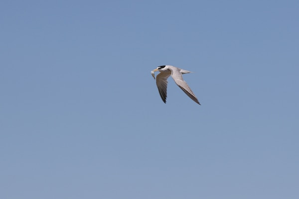 An adult interior least tern, with a fresh catch in its beak, flies over the Arkansas River.