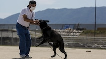 A Japan Maritime Self-Defense Force Kure Repair and Supply Facility Petroleum Terminal unit military working dog handler rewards his K-9 after finding hidden explosives during joint training with Marine Corps Air Station Iwakuni's Provost Marshal's Office K-9 unit and Hiroshima Prefectural Police Headquarters officers at Marine Corps Air Station Iwakuni, Japan, Aug. 24, 2016. Handlers and their military working dogs train regularly in a variety of areas such as locating explosives and narcotics, conducting patrols and human tracking in order to become a more effective team.