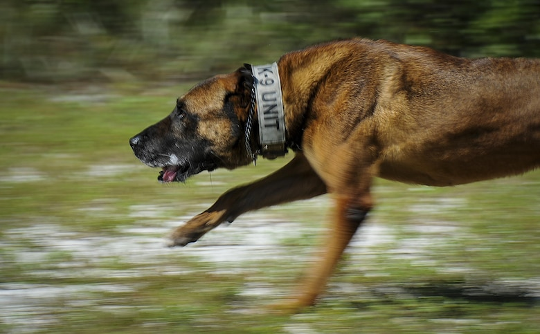 Ziko, a military working dog with the 1st Special Operations Security Forces Squadron, sprints for his toy at Hurlburt Field, Fla., Aug. 23, 2016. Once a dog has performed his duties correctly during training and demonstrations, they are rewarded with a toy for complying with their handler. (U.S. Air Force photo by Airman 1st Class Joseph Pick)
