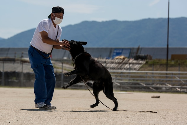 A Japan Maritime Self-Defense Force Kure Repair and Supply Facility Petroleum Terminal unit military working dog handler rewards his K-9 after finding hidden explosives during joint training with Marine Corps Air Station Iwakuni's Provost Marshal's Office K-9 unit and Hiroshima Prefectural Police Headquarters officers at MCAS Iwakuni, Japan, Aug. 24, 2016. Handlers and their military working dogs train regularly in a variety of areas such as locating explosives and narcotics, conducting patrols and human tracking in order to become a more effective team. (U.S. Marine Corps photo by Lance Cpl. Aaron Henson)