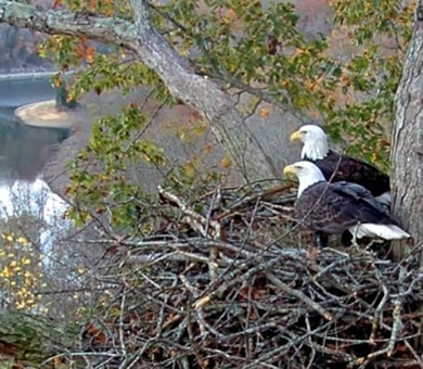 "Two American Bald Eagles look over Dale Hollow Lake from their shoreline nest. A new online video feed is going ""live"" Dec. 12 that allows anyone with Internet access or Twin Lakes TV to observe American Bald Eagles nesting, hatching and fledging on the shoreline of Dale Hollow Lake. The public is encouraged to bookmark and visit the site often at www.daleholloweaglecam.com."