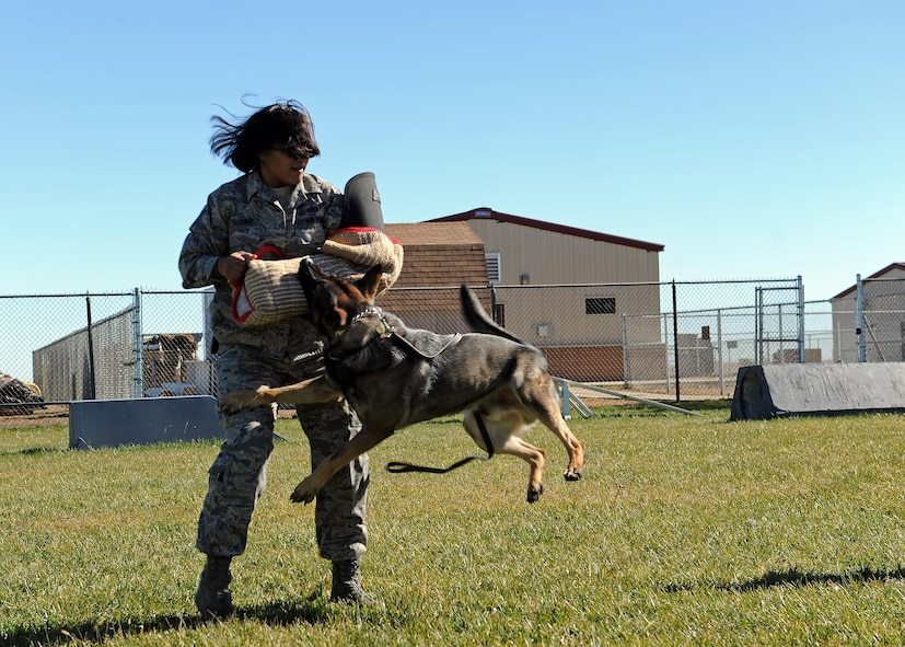 Tech. Sgt. Rachel Calloway, 27th Special Operations Security Forces Squadron Military Working Dog kennel master, decoys during bite training for MWD Fulda, Nov. 15, 2016, at the MWD compound at Cannon Air Force Base, N.M. While all working dogs are trained in law enforcement tactics, each also specializes in either narcotics or explosives detection. (U.S. Air Force photo by Staff Sgt. Whitney Amstutz/released)