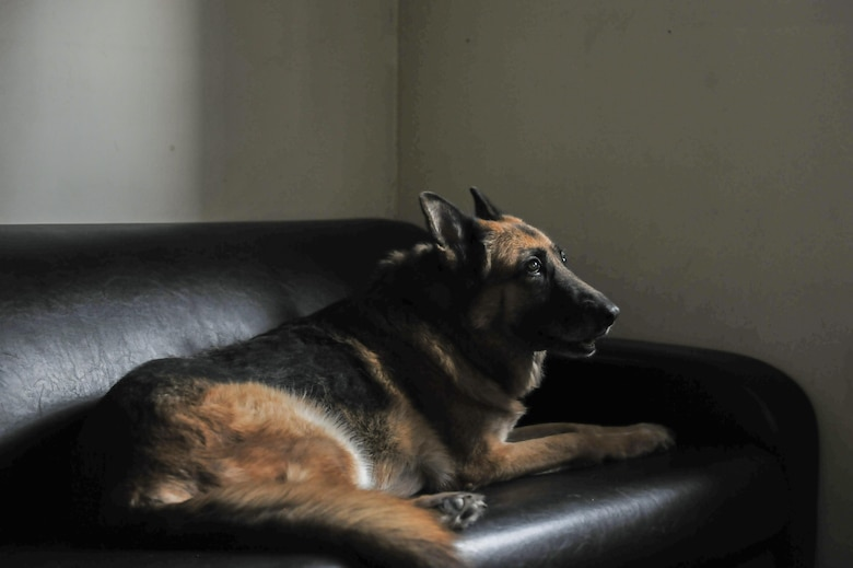 Stella, 8th Security Forces Squadron military working dog, lays on a couch inside the MWD compound at Kunsan Air Base, Republic of Korea, Nov. 11, 2016. Stella has come to the end of her military service and will be retiring because of lumbosacral disease, which is the degeneration of the joints, spine and compression of the nerves causing lower back discomfort as well as leg pain. (U.S. Air Force photo by Senior Airman Colville McFee/Released)