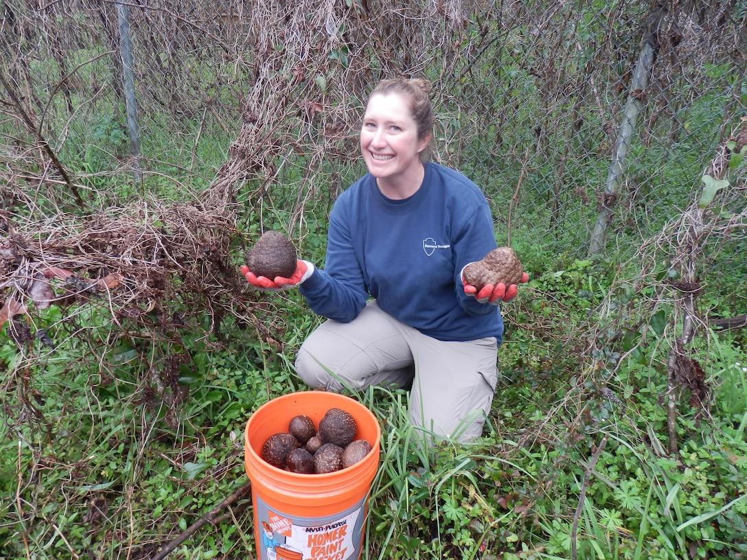 Invasive species biologist Jessica Spencer collects Air Potato