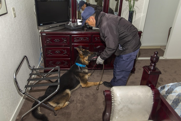 Police Lt. Muneyuki Hirao, a police dog trainer at Hiroshima Prefectural Police Headquarters, and his K-9 search for hidden explosives during a joint training exercise at Marine Corps Air Station Iwakuni, Japan, Feb. 17, 2016. K-9's are trained on scent boxes in order to get them familiar with the different scents of various explosives. The location and types of training are changed each time to broaden the capabilities of the dogs as well as the handlers.