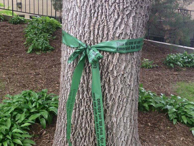 """A tree near downtown Omaha is marked to help educate the public about the threat to local trees from the Emerald Ash Borer. Ash trees that would have to be removed if affected by the beetle were marked with the green ribbons. The ribbons say """"This is one of over 100,000 ash trees that will die from Emerald Ash Borer in our city. Visit nfs.unl.edu/eab Please learn more about how to prevent the destructive insect from destroying trees."""