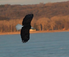 An eagle glides over the Missouri river near Gavins Point Dam.