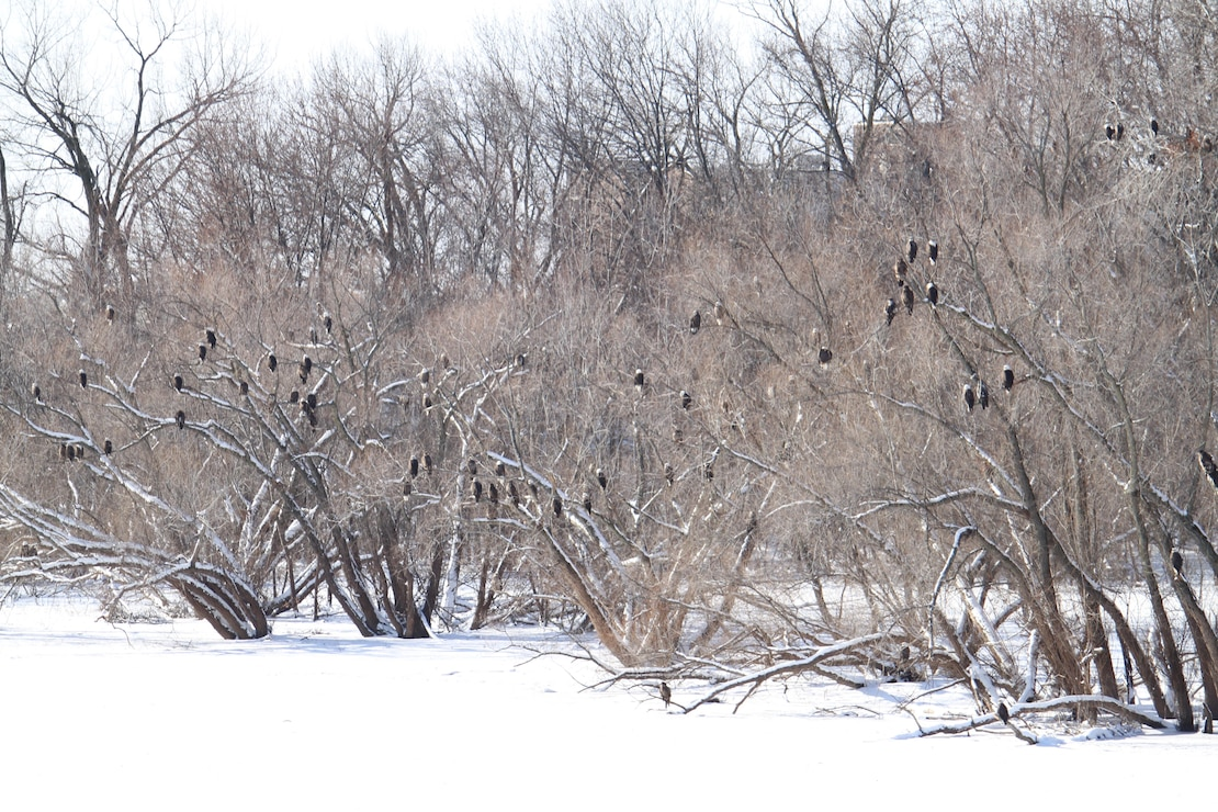 A gathering of adult and juvenile bald ealges rosting in the trees below Locks and Dam 15 on the Mississippi River in Rock Island, Illinois, in January 2015.