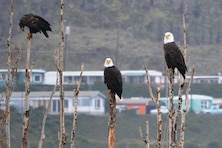 Eagle Watch 2014 at The Dalles Lock and Dam