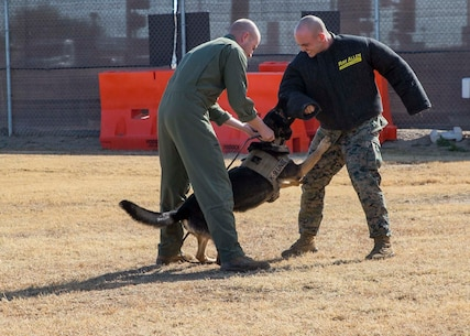 Cpl. Daryn Cherry, a military policeman with the Provost Marshal Office, reels in military working dog, Bandi, during simulated aggressor training at the K-9 training compound aboard Marine Corps Air Station Yuma, Ariz., Thursday, Jan. 14, 2016. (U.S. Marine Corps photo by Cpl. Reba James)