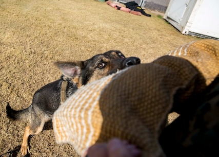 Kubu, a military working dog with the Provost Marshal Office, bites into the arm of a simulated aggressor during training at the K-9 compound aboard Marine Corps Air Station Yuma, Ariz., Thursday, Jan. 14, 2016. (U.S. Marine Corps photo by Cpl. Reba James)