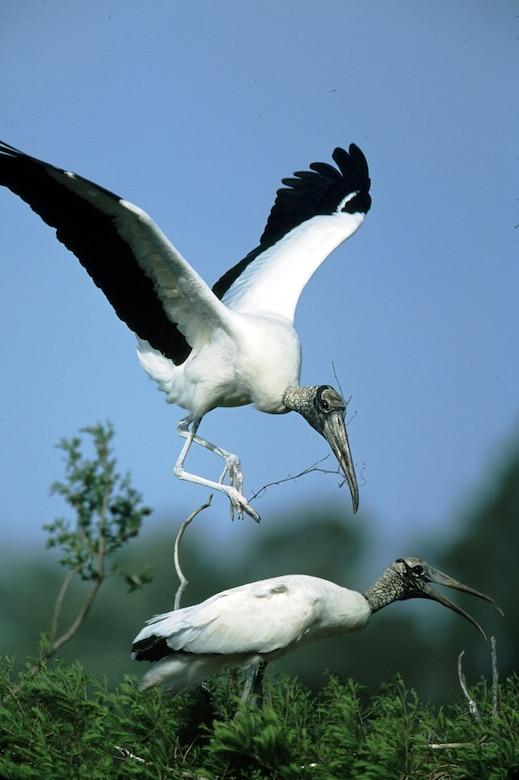 An endangered wood stork comes in for a landing at Pinckney Island National Wildlife Refuge in South Carolina.
