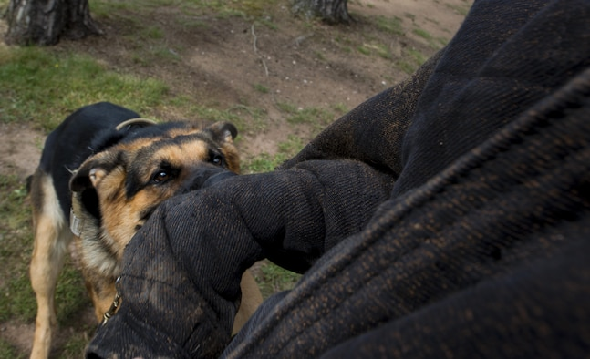 "Rogo, 86th Security Forces Squadron military working dog in training, attacks a ""perpetrator"" July 12, 2016, at Ramstein Air Base, Germany. Rogo underwent extensive basic training at Lackland Air Force Base, Texas and arrived at Ramstein on June 29. Rogo has a 90-day trial period before he will officially be a MWD. (U.S. Air Force photo/Airman 1st Class Tryphena Mayhugh)."