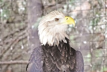 Justice the bald eagle is one of several birds of prey in the raptors exhibit. The exhibit also features a golden eagle, several different types of owls and an American Kestrel, the smallest North American falcon.