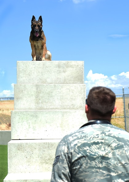 Military Working Dog Chico looks down at his handler Staff Sgt. Tyler Shears, 460th Space Wing Security Forces Squadron Security Forces MWD handler, July 19, 2016, on Buckley Air Force Base, Colo. The MWD trainers work together with their canine companions on a daily basis and must maintain the health and well-being of the dogs. (U.S. Air Force photo by Airman 1st Class Gabrielle Spradling/Released)
