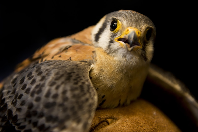 A captured American kestrel is held by Dale Waites, U.S. Department of Agriculture wildlife biologist, at Minot Air Force Base, N.D., July 15, 2016. Waites will safely release the birds, usually 50-60 miles away, and as many as ten American kestrels are relocated from Minot AFB's airfield each year. (U.S. Air Force photo/Airman 1st Class J.T. Armstrong)