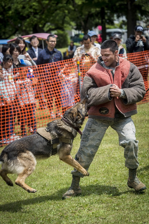 U.S. Air Force Senior Airman Juan Gamboa, a patrolman with the 35th Security Forces Squadron, braces for contact as a military working dog takes him down during a MWD capabilities demonstration as part of the 28th Annual American Day in Misawa City, Japan, June 5, 2016. Showcasing the region's bilateral partnership among U.S. military and Japanese residents, more than 80,000 annual attendees interacted with volunteers from private base organizations at various American-based food booths sharing a taste of home. Americans and Japanese residents also participated in activities such as a family fun run, an American-themed parade, sports tournaments, street performances and a haunted house. Gamboa hails from Fort Stockton, Texas. (U.S. Air Force photo by Staff Sgt. Benjamin W. Stratton)