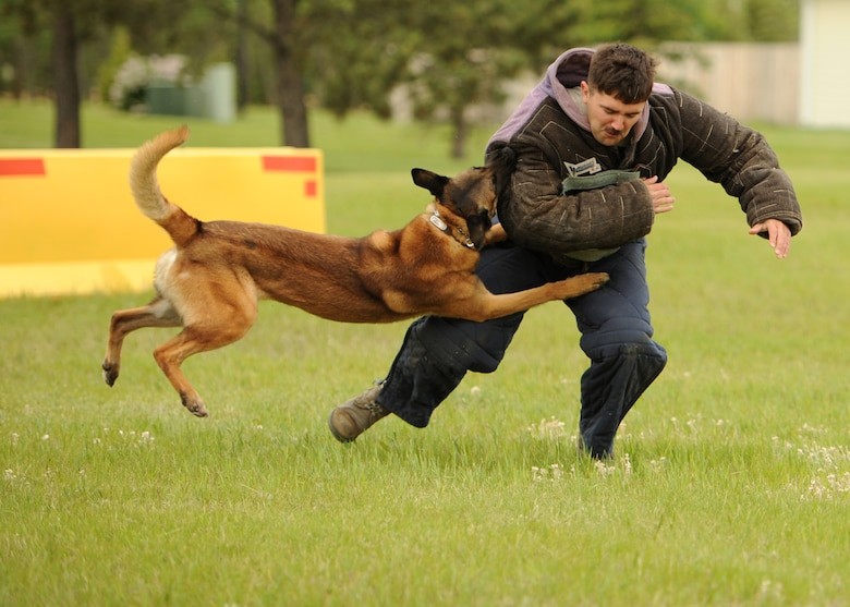 Zumba, 319th Security Forces Squadron military working dog, tears into Staff Sgt. Richard Lynn, 319th SFS military working dog trainer, June 11, 2016, on Cavalier Air Force Station, N.D. The 319th SFS MWD Unit provided a demonstration during the Cavalier AFS Open House. (U.S. Air Force photo by Senior Airman Ryan Sparks/Released)