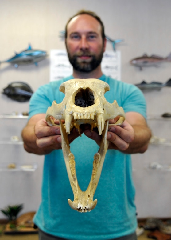 Jared Kwitowski, a wildlife biologist assigned to the 325th Civil Engineer Squadron Natural Resources, holds a black bear skull at the Natural Resources office June 10, 2016. The black bear is found on Tyndall AFB, and it is the only species of bear found in Florida. Adult males weigh between 250 and 350 pounds and females usually weigh 130 to 180 pounds. (U.S. Air Force photo by Senior Airman Sergio A. Gamboa/Released)