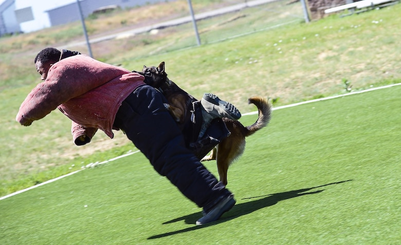 Cadet Benton Washington, U.S. Air Force Academy, is taken down by military working dog Chico during a MWD demonstration June 15, 2016, at Buckley Air Force Base, Colo. The cadets toured Buckley's units and missions, while engaging with leaders of all ranks in order to gain a better understanding of an operational air force base. (U.S. Air Force photo by Tech. Sgt. Nicholas Rau)