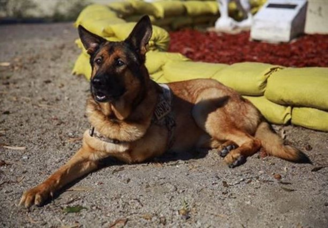 Lucca, a 12-year-old retired Marine Corps military working dog, visits Camp Pendleton Feb. 29, 2016. Lucca has been selected to receive the Dickin Medal, which acknowledges outstanding acts of bravery or devotion to duty by animals serving with the armed forces or civil defense. (U.S. Marine Corps photo by Lance Cpl. Caitlin Bevel)