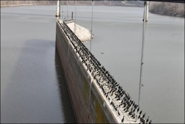 Double-crested cormorants perched at Robert S. Kerr Lock and Dam 15 before the arrival of Ellie. The birds dropped more than 11,000 pounds of waste on the structure.