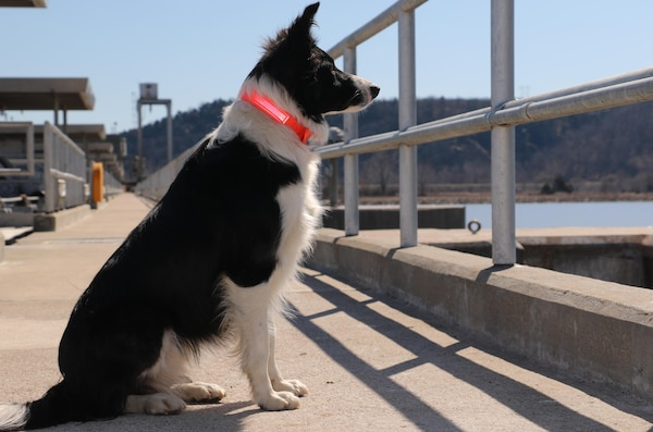 Ellie, the border collie, protects Robert S. Kerr Lock and Dam 15 from birds like the double-crested cormorant, which flock to the structure in the fall and winter months. The birds leave tons of waste that corrodes and damages the facility.