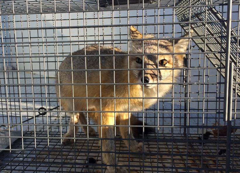 A swift fox sits in a cage on the flightline at Ellsworth Air Force Base, S.D., Feb. 23, 2016. Swift foxes are on a threatened species list and, when found, are released into the wild on base to help keep the base rodent and bird population low. To report a pest problem, call the 28th Civil Engineer Squadron pest management office at (605) 385-2521. (U.S. Air Force courtesy photo by Airman 1st Class Melissa Waszkiewicz/Released)