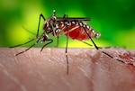 This 2006 photograph depicts a female Aedes aegypti mosquito, the species of mosquito primarily responsible for the spread of the Zika virus disease to people. The most common symptoms of Zika are fever, rash, joint pain, and conjunctivitis, or red eyes. The illness is usually mild, with symptoms lasting for several days to a week after being bitten by an infected mosquito. Centers for Disease Control photo