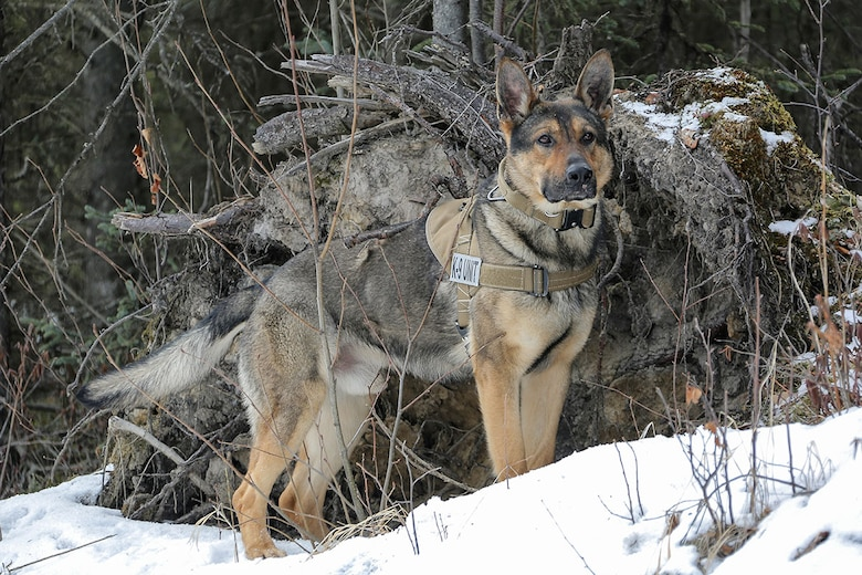 U.S. Army military working dog, Faro, assigned to the 549th Military Working Dog Detachment, searches for simulated hidden explosives while conducting K-9 training at Joint Base Elmendorf-Richardson, Alaska, March 17, 2016. Military working dogs are trained to respond to various law enforcement emergencies as well as detect hidden narcotics and explosives. (U.S. Air Force photo/Alejandro Peña)