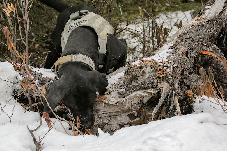 U.S. Army military working dog, Teddy, assigned to the 549th Military Working Dog Detachment, searches for simulated hidden explosives while conducting K-9 training at Joint Base Elmendorf-Richardson, Alaska, March 17, 2016. Military working dogs are trained to respond to various law enforcement emergencies as well as detect hidden narcotics and explosives. (U.S. Air Force photo/Alejandro Peña)