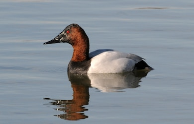 The Canvasback duck. (Photo by Peter Massas via Flickr Creative Commons)