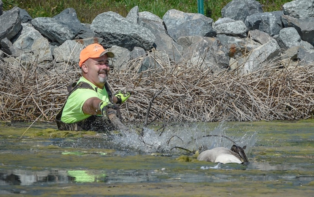 Mr. Burton Rogers, 11th Civil Engineer Pest Management technician, retrieves a goose from a pond on Joint Base Andrews, Md., March 24, 2016. Geese and other birds pose a threat of damaging aircraft. (U.S. Air Force photo by Senior Airman Ryan J. Sonnier/RELEASED)
